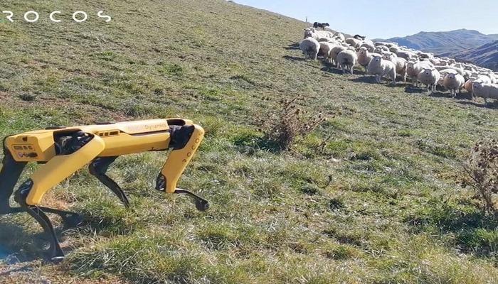 На ферме в Новой Зеландии выпас стада доверили роботу.