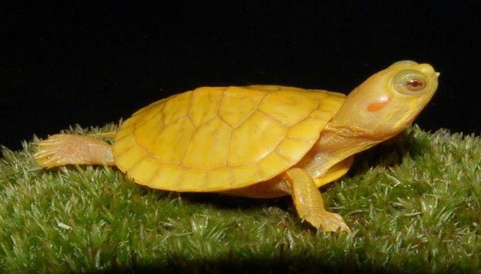 Найдена уникальная особь желтой черепахи