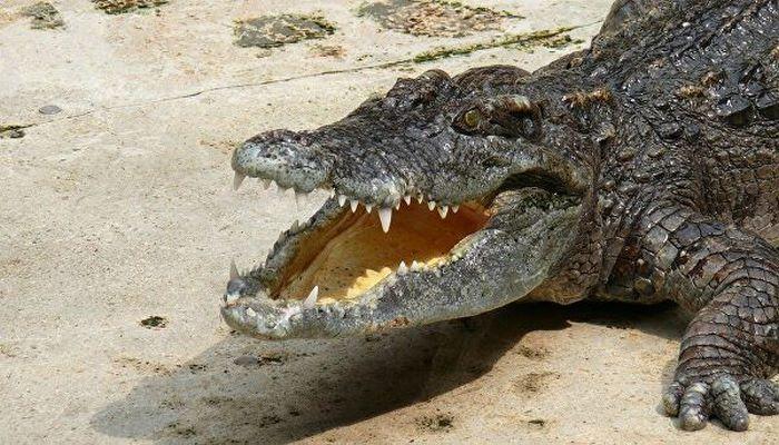 Пойман крокодил размером с автомобиль
