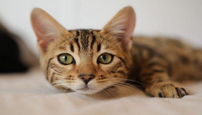 Правда или миф? Ученые выяснили, могут ли кошки исцелять болезни человека