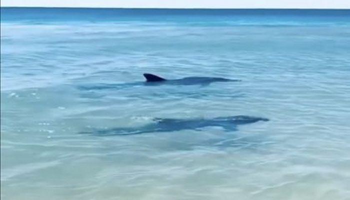 Qara dənizdə delfinlər sahilə yaxınlaşdı