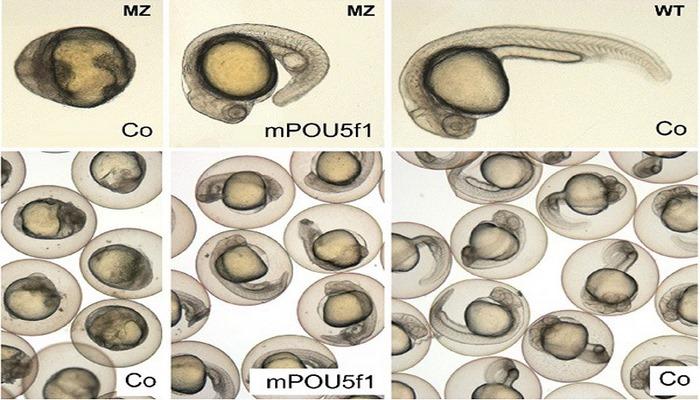 Ученые впервые временно отключили ген у эмбриона
