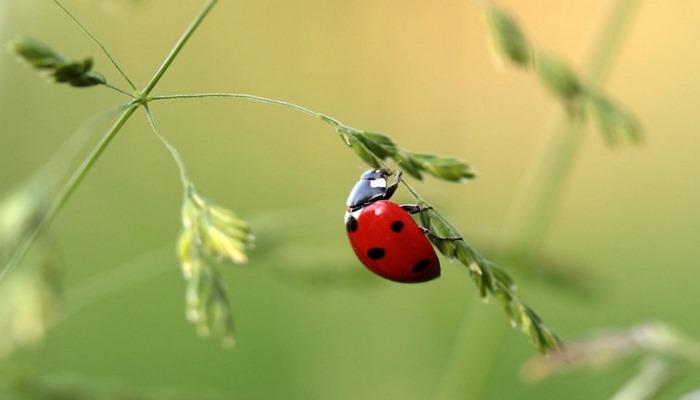 Uğur Böceğinin Sırrı ne? Neden Görünce Dilek Tutarız?