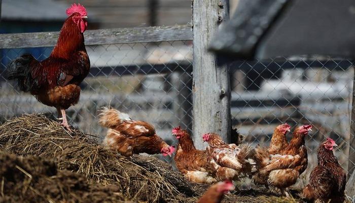 В российском регионе выявлены очаги птичьего гриппа