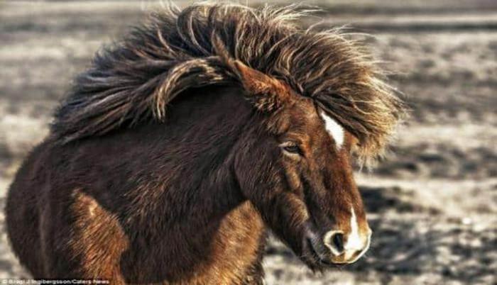 İslandiya fotoqrafı Braqi Inqiberqssonun çəkdiyi vəhşi at şəkilləri