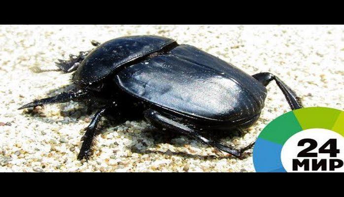 В Египте обнаружены мумии жуков-скарабеев