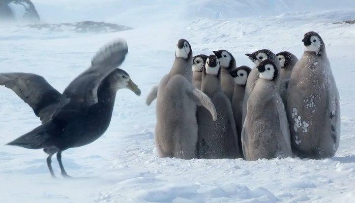 Малыши-пингвины как могли отбивались от хищника, но неожиданно пришла подмога