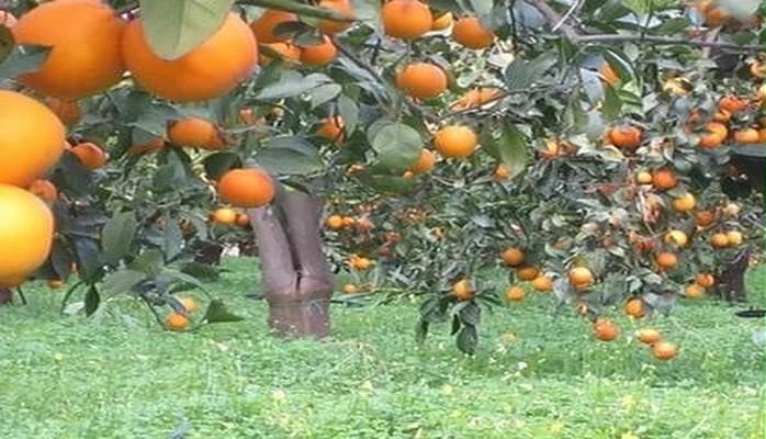 Цитрусовой рай: праздник изобилия на юге Азербайджана
