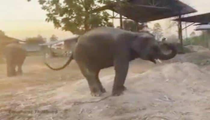 Танцующий слоненок поразил туристов пластикой своих движений