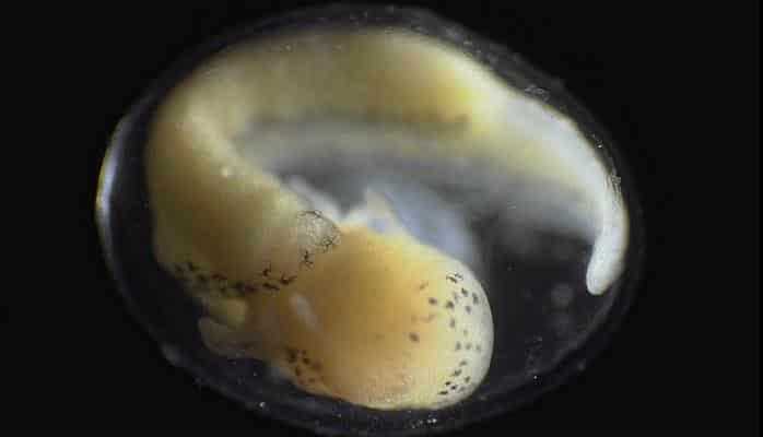 Удивительный процесс рождения тритона из клетки сняли на видео. И его определенно стоит посмотреть