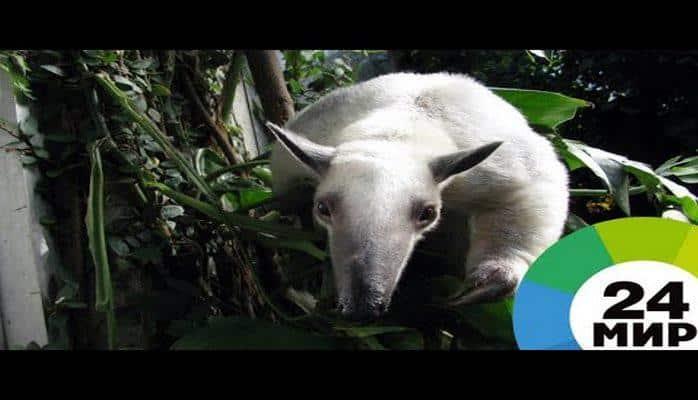 В лондонском зоопарке муравьед взял под опеку новорожденного брата